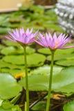 Lótus cor-de-rosa roxos de florescência Imagens de Stock