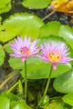 Lótus cor-de-rosa roxos de florescência e abelhas pequenas Fotos de Stock Royalty Free
