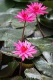 lótus da flor ou lírio de água cor-de-rosa, que é simbólico do budismo imagem de stock royalty free