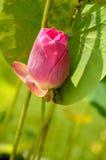 Lótus de florescência Imagem de Stock Royalty Free