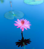 Lótus de florescência Imagem de Stock