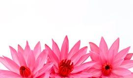 Lótus de florescência bonitos no branco Imagem de Stock Royalty Free