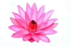 Lótus de florescência bonitos no branco Imagens de Stock Royalty Free
