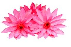 Lótus de florescência bonitos no branco Foto de Stock Royalty Free