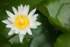 Lótus de florescência brancos Imagens de Stock