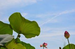 Lótus de florescência com as folhas oposto ao céu azul Imagens de Stock Royalty Free