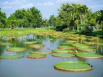 Lótus de flutuação enormes, parque Banguecoque Tailândia de Rama 9 do gigante Foto de Stock