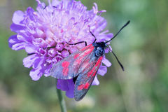 Lótus de Zygaenidae Imagem de Stock