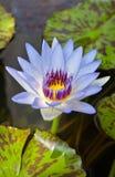 Lótus do azul da flor Fotografia de Stock