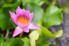 Lótus do rosa de Vibrance Fotos de Stock Royalty Free