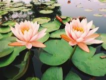 lótus doces da flor Fotografia de Stock Royalty Free