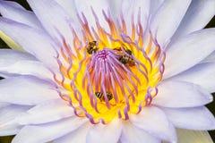 Lótus e abelha Imagens de Stock Royalty Free