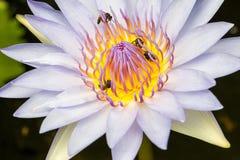 Lótus e abelha Foto de Stock Royalty Free