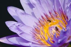 Lótus e abelha bonitos Fotos de Stock Royalty Free