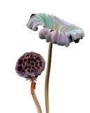 Lótus e folha secados Foto de Stock