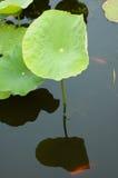 Lótus e Goldfish Foto de Stock Royalty Free
