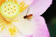 Lótus e mosca Fotografia de Stock Royalty Free