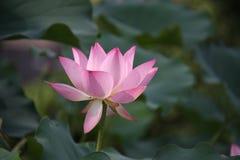 lótus, flor, rosa, lírio, água, natureza, raiz dos lótus, Fotos de Stock