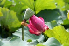 Lótus, lírios de água em uma lagoa, Foto de Stock Royalty Free