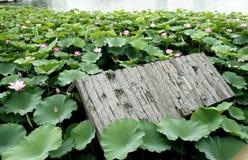 Lótus na lagoa. Fotos de Stock