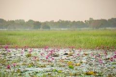 Lótus na lagoa Imagem de Stock Royalty Free