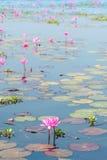 Lótus na lagoa Imagens de Stock Royalty Free
