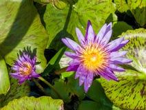 Lótus na lagoa Foto de Stock Royalty Free