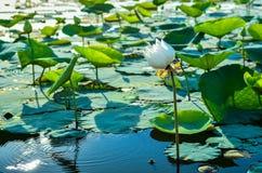 Lótus no lago Imagens de Stock