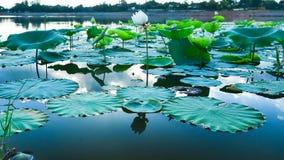 Lótus no lago Imagens de Stock Royalty Free