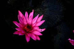 Lótus roxos Fotografia de Stock