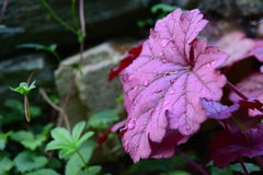 Lótus roxos Imagens de Stock
