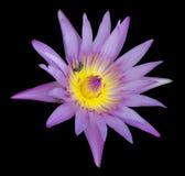 Lótus roxos bonitos Imagem de Stock