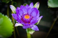 Lótus roxos bonitos Fotos de Stock Royalty Free