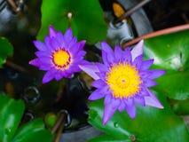 Lótus roxos bonitos na lagoa, lírio de água violeta fotografia de stock royalty free