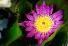 Lótus roxos coloridos Fotos de Stock Royalty Free