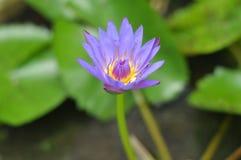 Lótus roxos na lagoa Foto de Stock