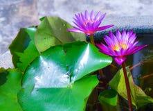 Lótus roxos na lagoa no jardim Fotos de Stock