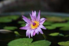 Lótus roxos que florescem na lagoa Fotos de Stock