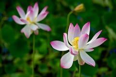 Lótus sagrados cor-de-rosa Fotos de Stock Royalty Free