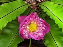 Lótus sagrados cor-de-rosa Fotografia de Stock