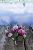 Lótus sagrados ou flores de lótus e lótus Foto de Stock Royalty Free