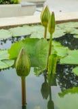 Lótus verdes Fotos de Stock