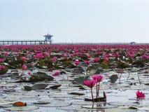 Lótus vermelhos em Thalenoi, Patthalung, Tailândia Imagem de Stock