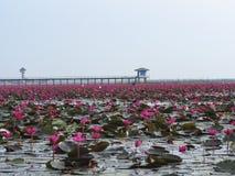 Lótus vermelhos em Thalenoi, Patthalung, Tailândia Foto de Stock Royalty Free