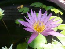 Lótus violetas Imagens de Stock