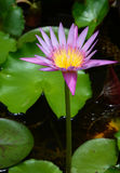 Lótus violetas Foto de Stock Royalty Free