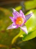 Lótus violetas na luz solar Imagens de Stock Royalty Free