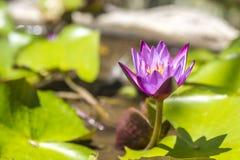Lótus violetas em uma lagoa fotos de stock royalty free