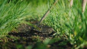 Löffeln Sie den grünen Garten mit der Zwiebel Arbeit in einem kleinen Bauernhof stock video