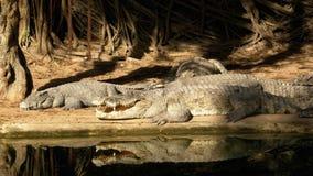 Lögn för många krokodiler nära vattnet av grön färg Muddy Swampy River thailand askfat stock video